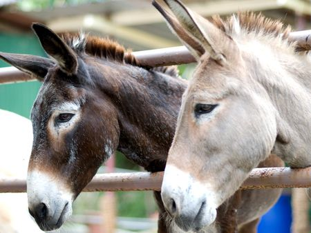 smilling: Two Donkeys Smilling Stock Photo
