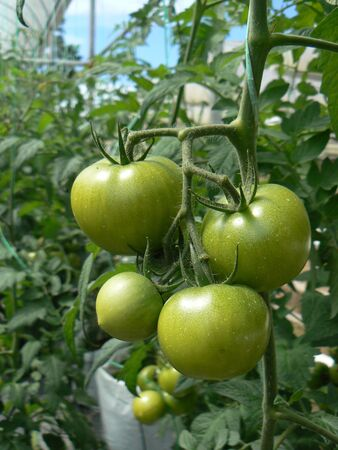 tomate de arbol: Tomate verde en el �rbol, tomate jard�n