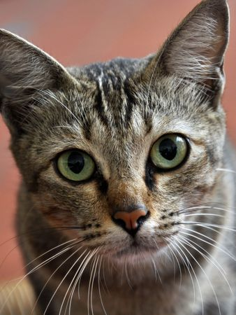 Home Cat Face Stock Photo - 5211733