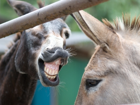 Funny Laughing Donkeys