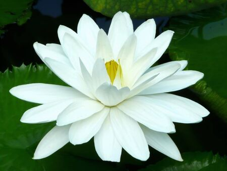 White Clean Lotus Stock Photo
