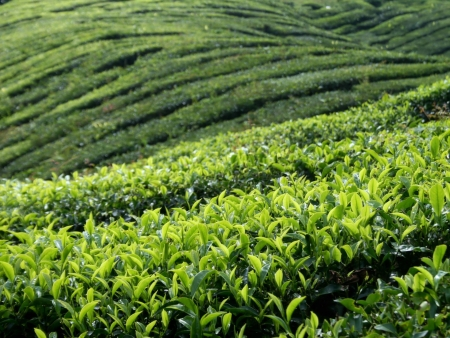 Tea Garden  Mouitain Stock Photo