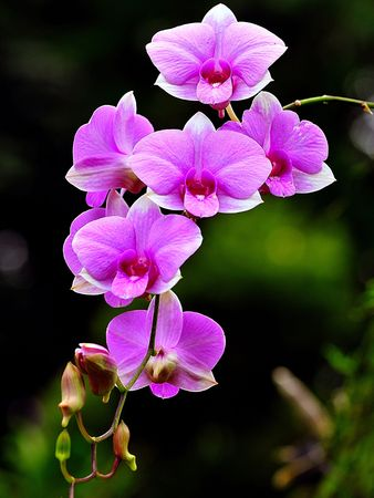 purple orchid: Beauty Orchid Stock Photo