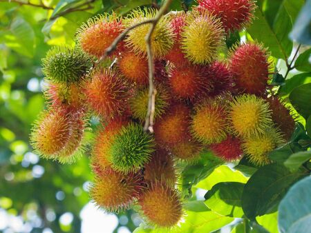 Rambutans on tree