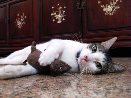 Cat Fun with mouse Stock Photo - 7145376