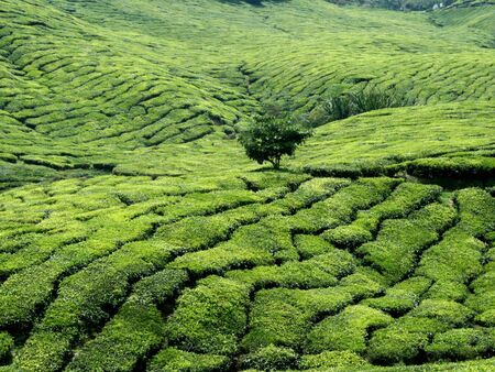 The Tea Mountain  photo