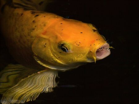 marinelife: Gold Fish