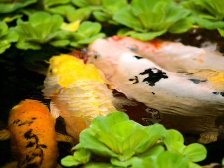 marinelife: Fengshui Fishes