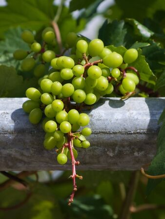 Grape Farm Stock Photo - 7422621