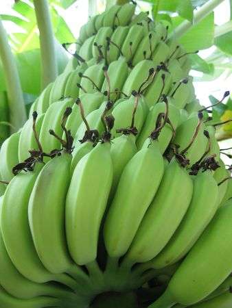 Nature Green Banana