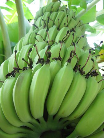 Nature Green Banana
