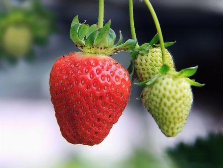 Farm Strawberries photo