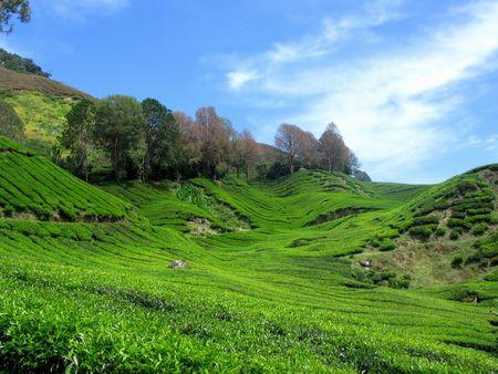 Beauty Nature Tea Mountain 版權商用圖片