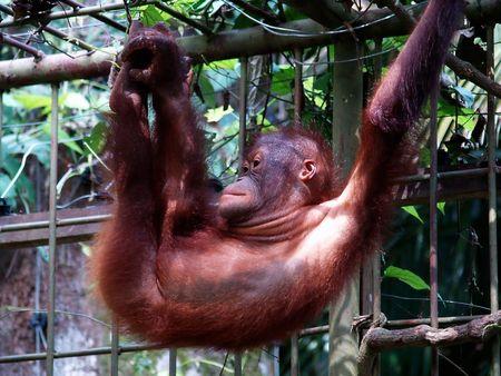 orang: Orang Hutan Stock Photo