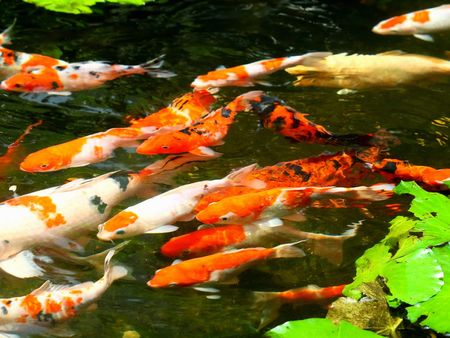 The FengShui Fish Pond for Wealthy Stock Photo