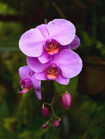 purple orchid: Beauty Purple Orchid