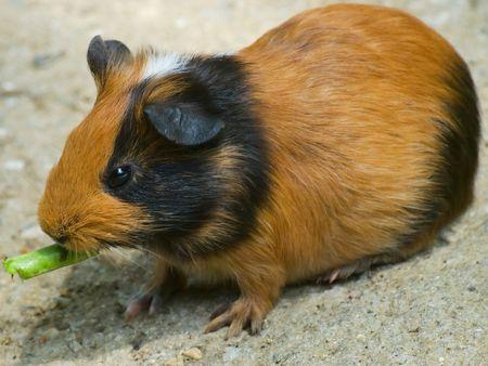 Brawn Hamster