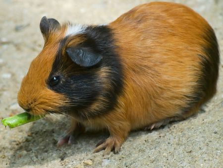 hamsters: Brawn Hamster