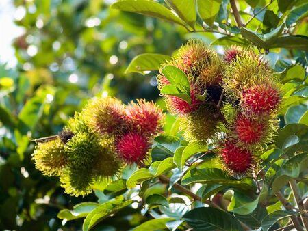 Rambutan Tree Stock Photo