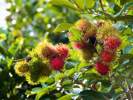 Rambutan Tree Stock Photo