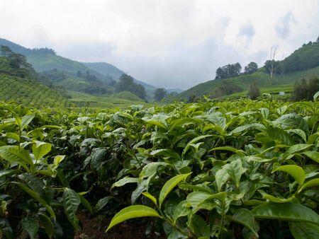 The Tea Farm photo