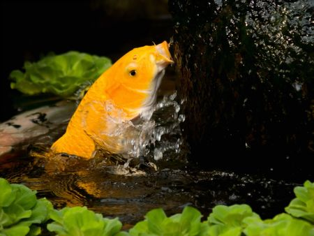 fengshui: Gold Fish for Good Feng Shui Stock Photo