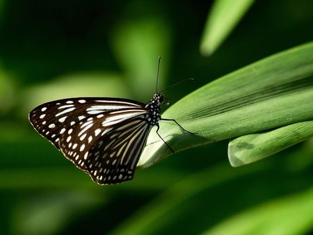 Butterfly with white dotting