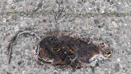 city rat at the end as a carcass
