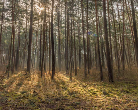 pine forest with backlight