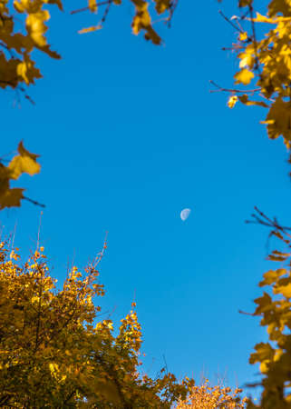 The yellow leaves of the tree frame the moon