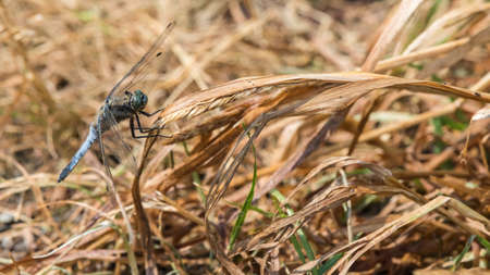 A dragonfly on a dried up blade of grass