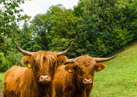 Two Scottish highland cattle on a green meadow on the edge of a forest