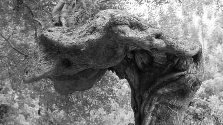 Old olive tree that looks like a sculpture 写真素材