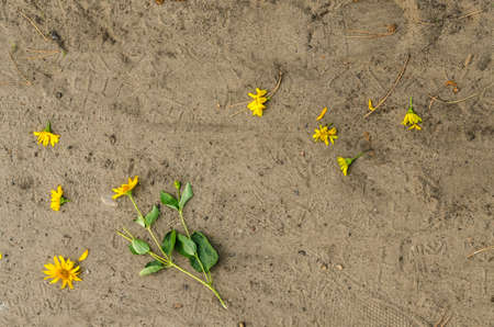 Perennial sunflower blossoms lie demolished on the sandy ground in summer