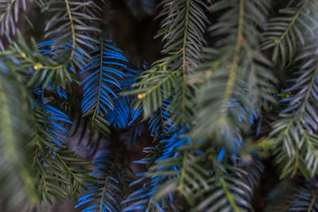 A couple of pine needles painted in bright blue in close-up Zdjęcie Seryjne