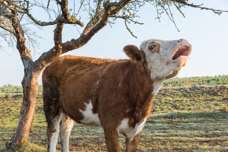 Young cow bull in the morning in closeup on pasture next to a tree 写真素材