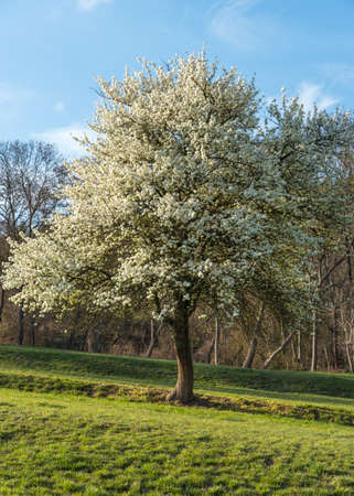 A sour cherry tree with white flowers on a green meadow 写真素材