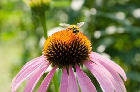 Hoverfly collecting pollen on a pink echinacea