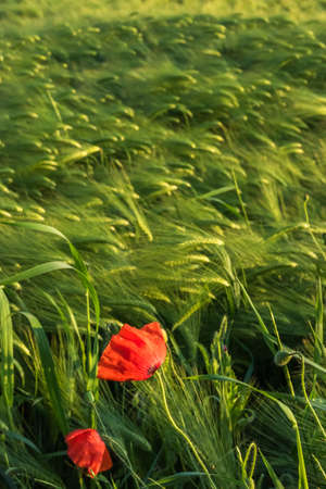 Barley grain field with two poppies in the foreground