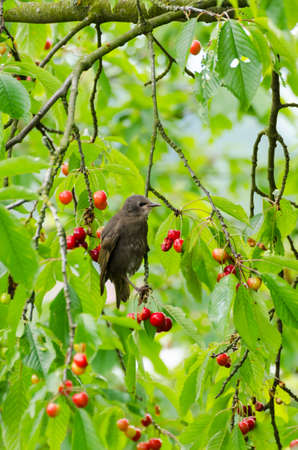 Starling in the cherry tree with ripe cherries eaten