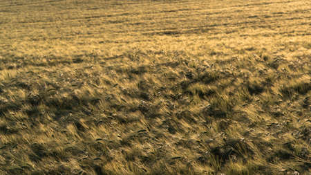 Barley field in full glory without people golden and ripe at sunset