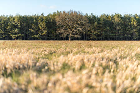 Bare tree in the middle of green trees and a dry yellow meadow