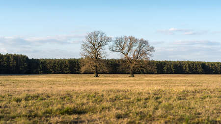 Old two trees on a dry meadow in front of a forest