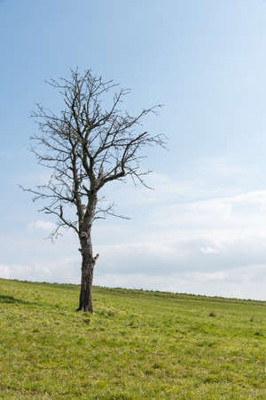 Bare single tree on a hill with green meadow