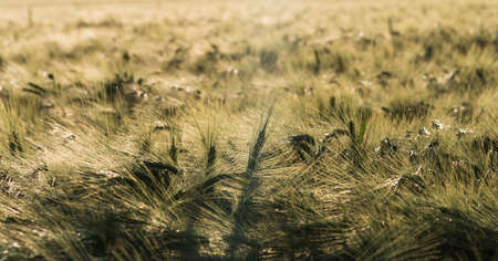 Barley field at the end of summer in close-up in golden yellow