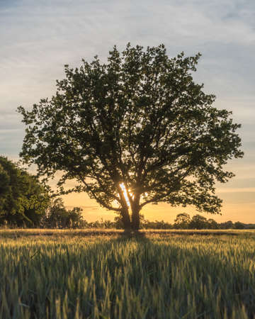Sunbeams behind a tree and shadows on a field at sunset 写真素材