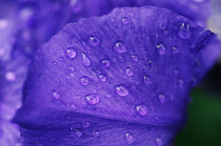Dew on a lilac petal photo
