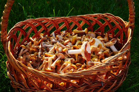 Basket with mushrooms on a green grass photo