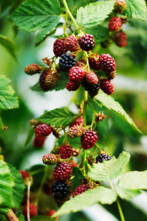 Branch with blackberry berries photo