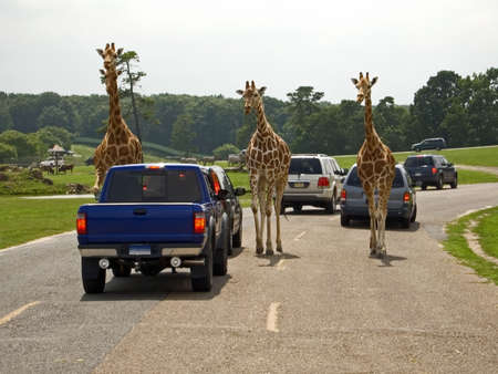 This is a funny shot of three giraffes coming up the road at an animal safari park. photo
